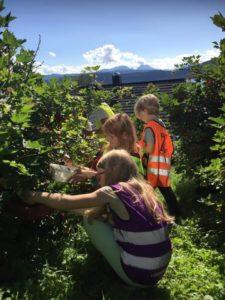 Plukking av bær